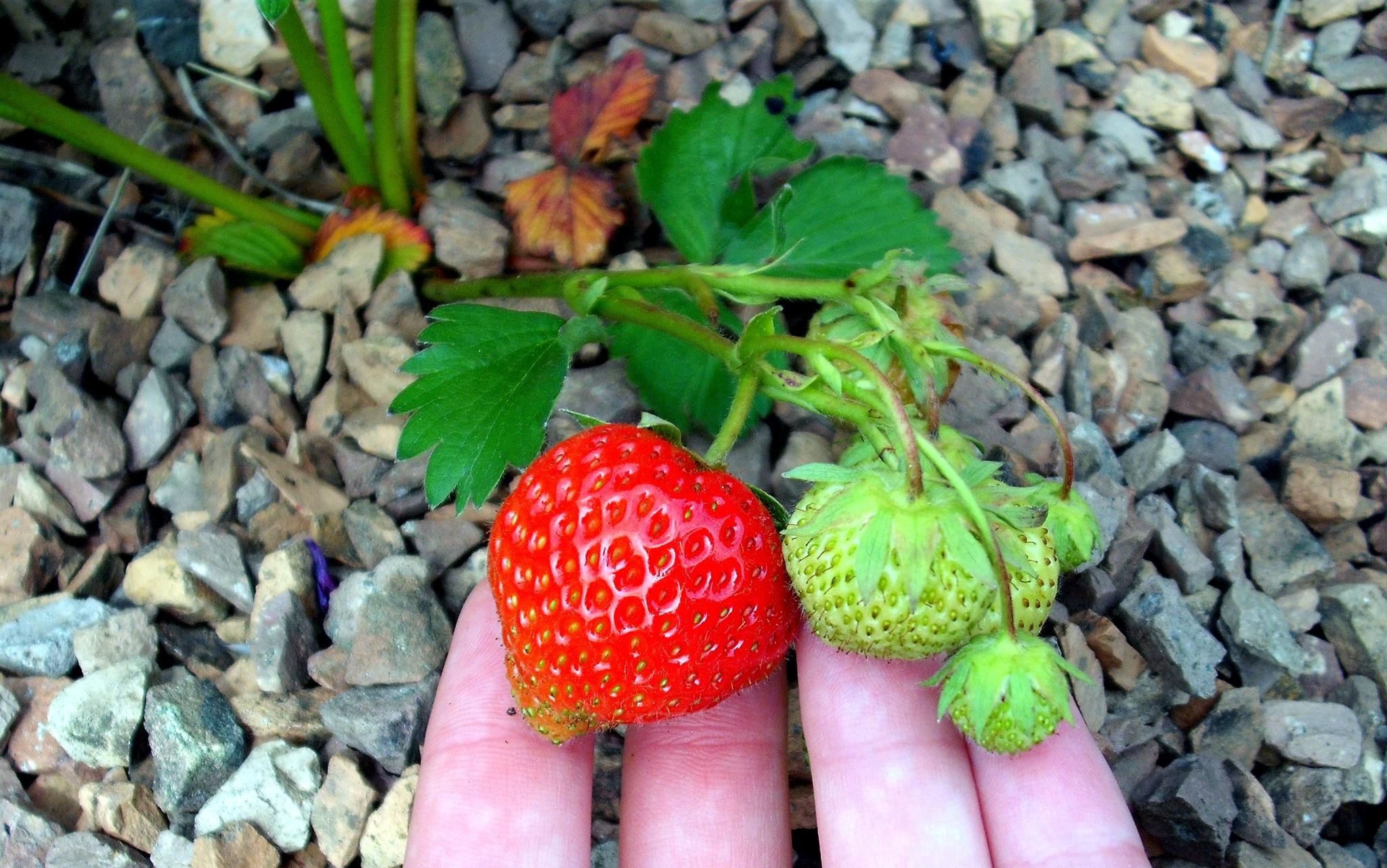A ripening strawberry