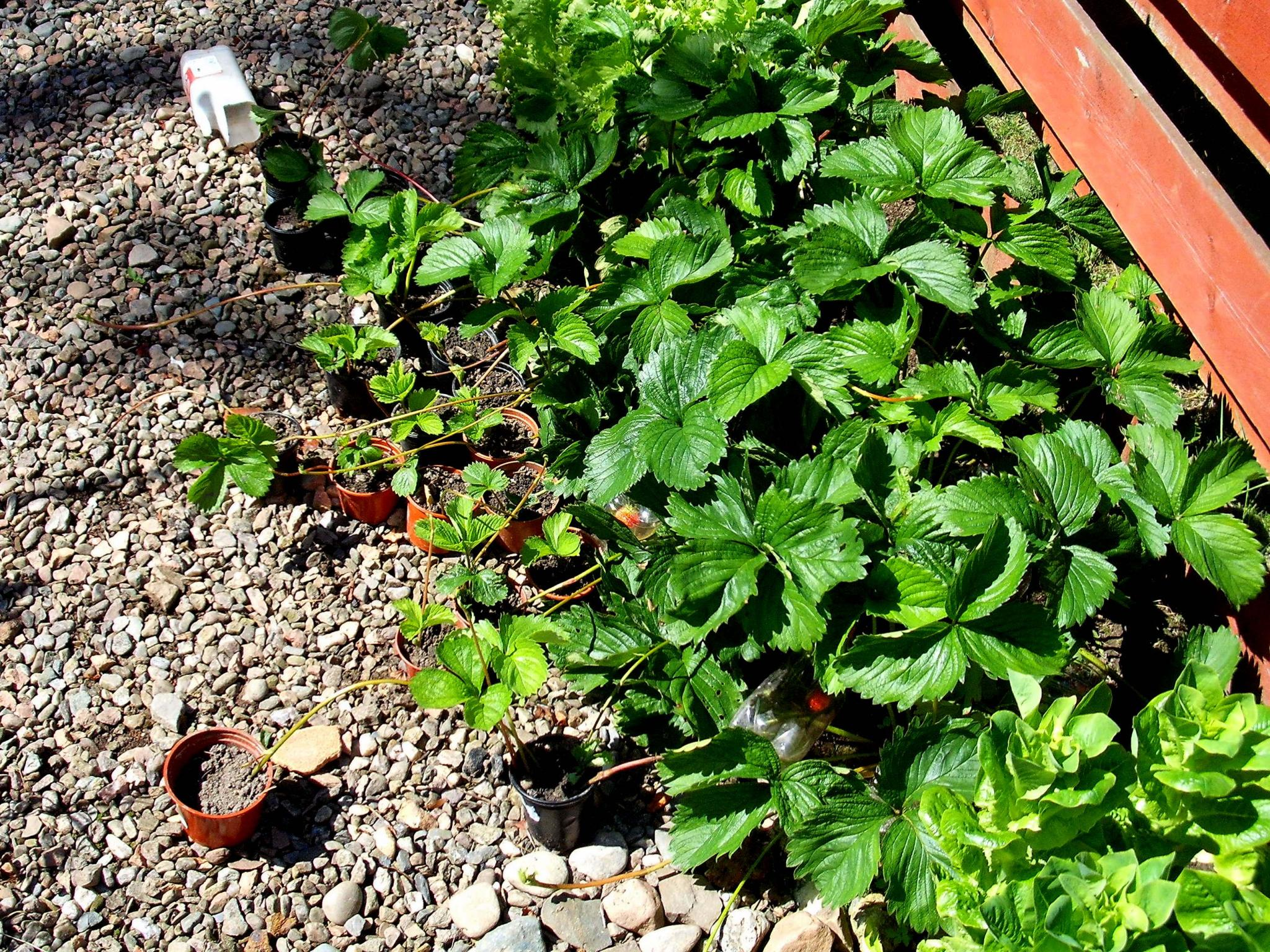 The strawberry plants in my back garden producing runners.
