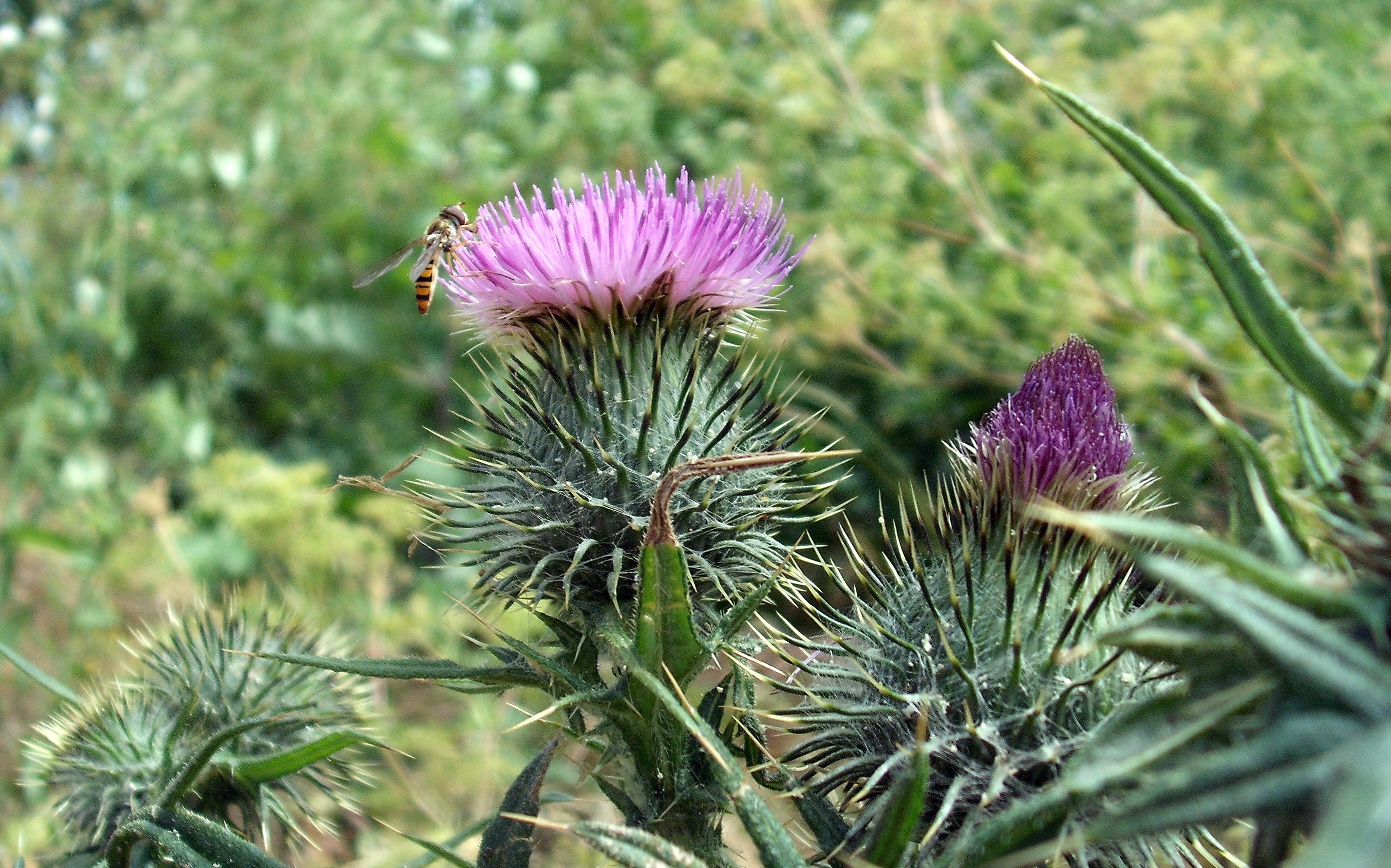 A Hoverfly on a Thistle